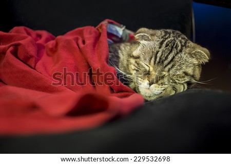 Scottish fold cat sleeping sweetly like a man under the red blanket, his head resting on the foot - stock photo