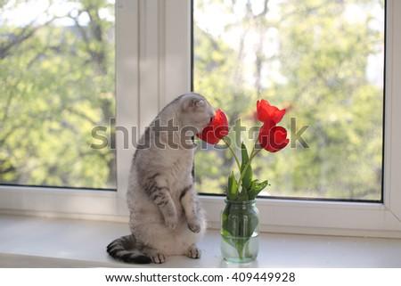 Scottish Fold cat sniffing tulips on the windowsill. Selective focus - stock photo