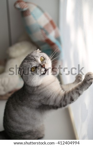 Scottish Fold cat with a funny expression on his face rests on the paws curtained window. Selective focus - stock photo