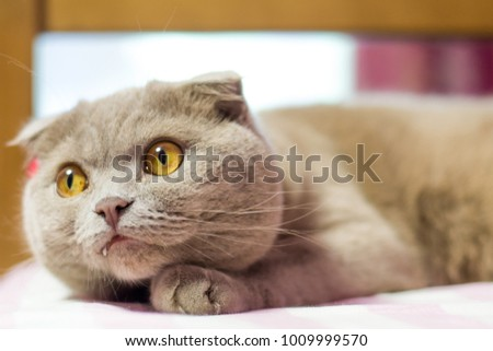 Scottish fold cat with a red bow. Pink background.