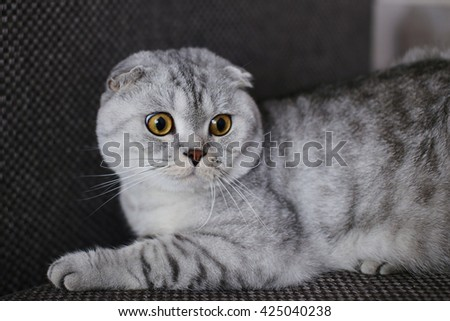 Scottish Fold cat with yellow eyes lying on the couch. Animal portrait. Selective focus