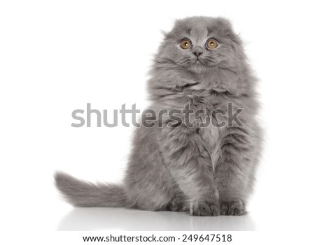 Scottish fold (Highland fold) kitten posing on white background - stock photo