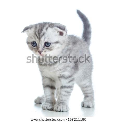 Scottish fold kitten isolated on white - stock photo