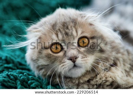 Scottish Fold kitten, looking at camera, close-up shot, blurred background - stock photo