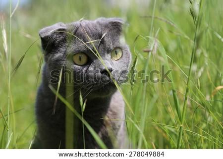 Scottish fold kitten on green meadow - stock photo