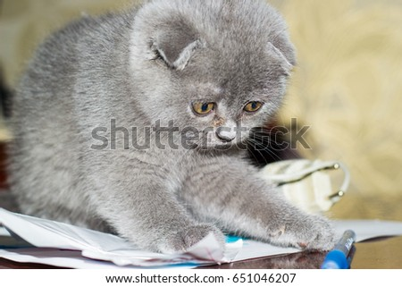 Scottish fold kitten playing with a pen
