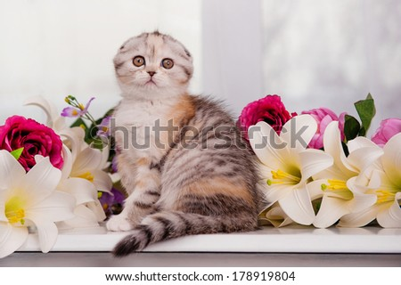 Scottish-fold kitten sits in flowers - stock photo