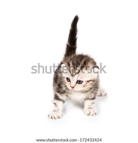Scottish Fold kitten with reflection on white background - stock photo