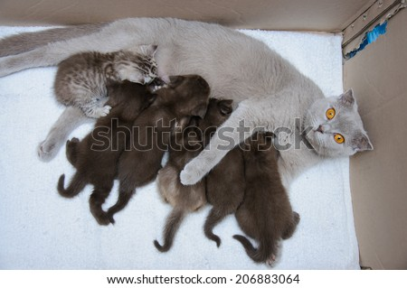 Scottish fold Mother cat milk feeding her kittens in a cardboard box - stock photo