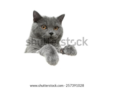 Scottish gray cat with yellow eyes on a white background sits behind a white banner. horizontal photo. - stock photo