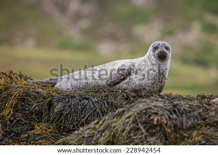 Scottish grey seal on the Isle of Skye - stock photo