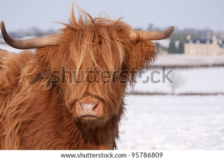 Scottish Highland cows, standing in snow