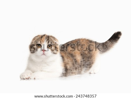 scottish highland kitten with white on white background