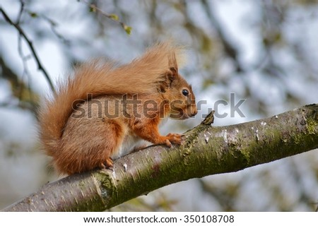 Scottish Highland Red Squirrel feeding in the trees near Loch Morlich - stock photo