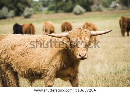 Scottish Highlander Cow in a Pasture Rural America - stock photo