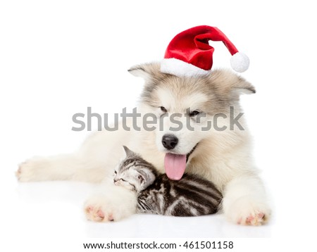 Scottish Kitten and alaskan malamute puppy in christmas hat. isolated on white background