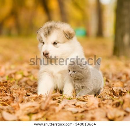 Scottish kitten and alaskan malamute puppy sitting together in autumn park - stock photo