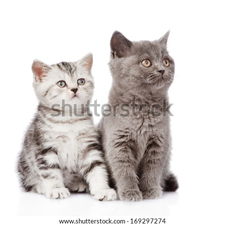 Scottish kitten and british shorthair kitten. isolated on white background