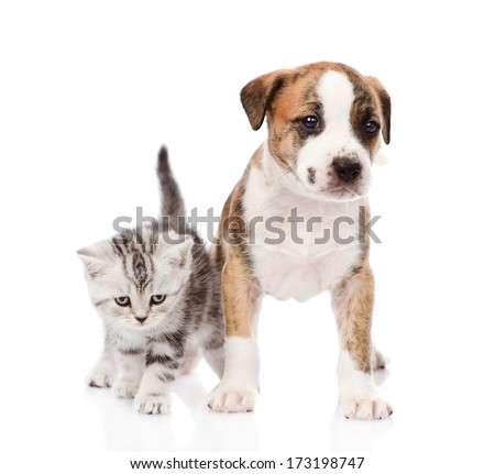 Scottish kitten and cute puppy together. isolated on white background