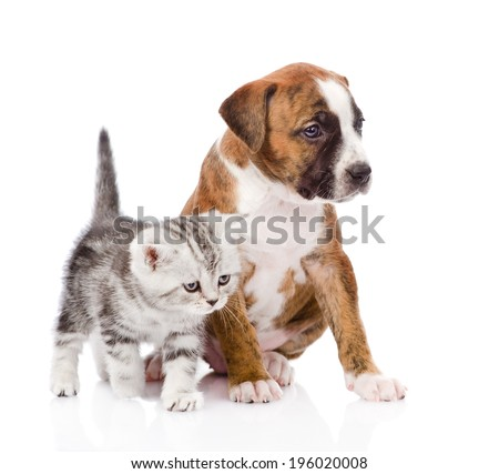 Scottish kitten and puppy looking away. isolated on white background