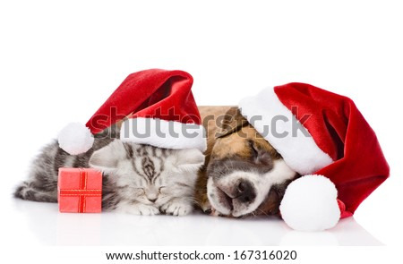 Scottish kitten and puppy with santa hat sleeping together. isolated on white background - stock photo