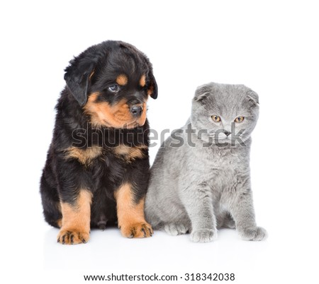 scottish kitten and rottweiler puppy sitting together. Isolated on white background