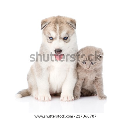 scottish kitten and Siberian Husky puppy sitting together. isolated on white background