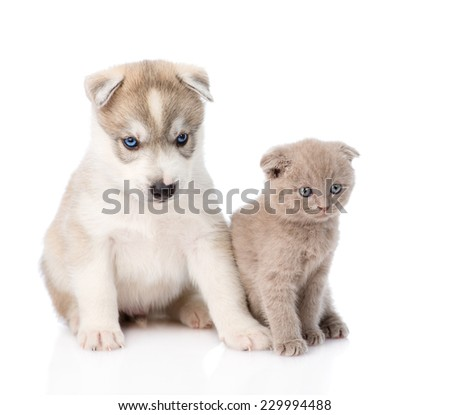 scottish kitten and Siberian Husky puppy together. isolated on white background