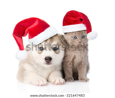 scottish kitten and Siberian Husky puppy with red christmas hats together. isolated on white background