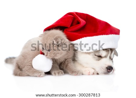scottish kitten and sleeping Siberian Husky puppy with red santa hat. isolated on white background