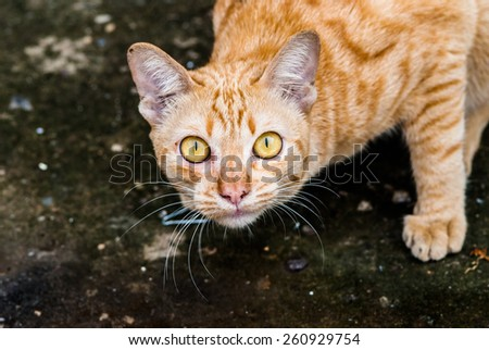 Scottish kitten looking at camera. - stock photo