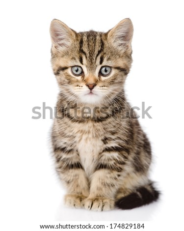 Scottish kitten looking at camera. isolated on white background - stock photo