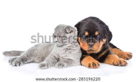 scottish kitten lying with rottweiler puppy lying. Isolated on white background - stock photo