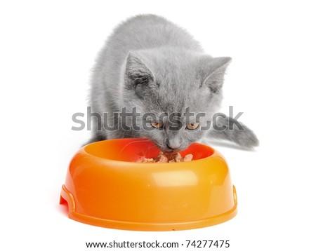 Scottish kitten on the white background - stock photo