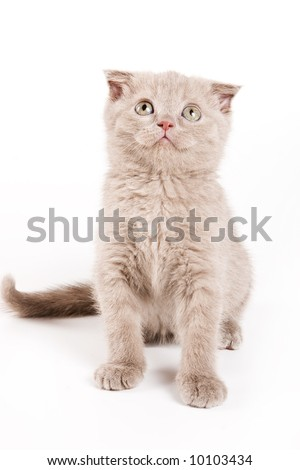 Scottish kitten on white background