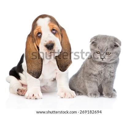 Scottish kitten sitting with basset hound puppy. isolated on white background - stock photo