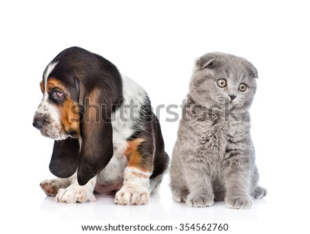 Scottish kitten sitting with basset hound puppy. isolated on white background - stock photo