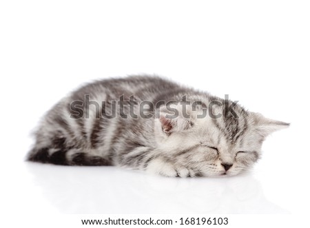 Scottish kitten sleeping. isolated on white background
