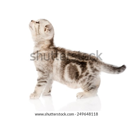 scottish kitten standing in profile and looking up. isolated on white background - stock photo
