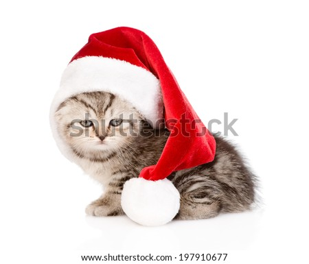 scottish kitten with santa hat. isolated on white background