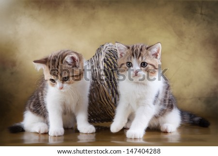 Scottish kittens
