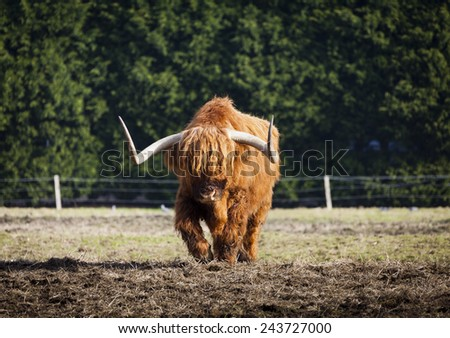 Scottish Longhorn bull walking towards you like an animal out of Star Wars.  - stock photo