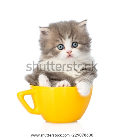 scottish lop-eared kitten in large cup. isolated on white background - stock photo