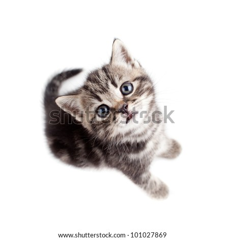 Scottish or british gray kitten top view isolated
