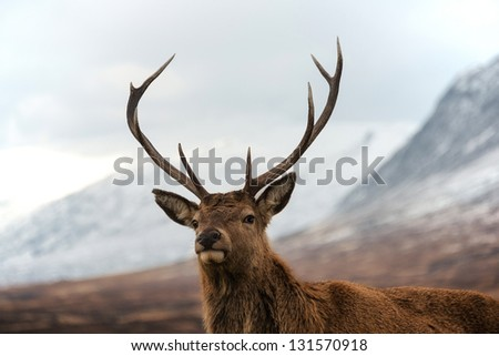 Scottish red deer stag looking at camera. Highland mountains as background.