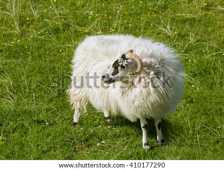 Scottish sheep as found on the Isle of Lewis and Harris, Outer Hebrides, Scotland - stock photo