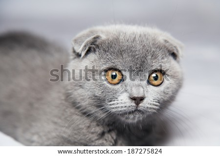 Scottish Shorthair cat on a gray background