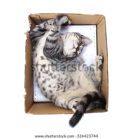 Scottish shorthair cat  playing in paper box - stock photo