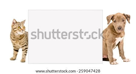 Scottish Straight cat and puppy pit bull behind a banner isolated on white background - stock photo