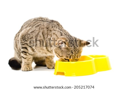 Scottish Straight  cat eats isolated on white background - stock photo